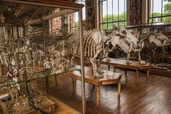 Skeletons of animals in the huge hall in Gallery of Paleontology and Comparative Anatomy at Paris. Paris, northern France - July 10, 2017. Skeletons of animals stock images