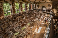 Backbone skeleton of marine mammals in the Gallery of Paleontology and Comparative Anatomy at Paris. Paris, northern France - July 10, 2017. Skeletons of royalty free stock photos