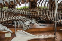 Skeletons of marine mammals at hall in Gallery of Paleontology and Comparative Anatomy at Paris. Paris, northern France - July 10, 2017. Skeletons of marine royalty free stock image