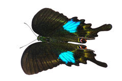 Paris peacock butterfly Stock Images