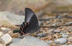 Paris Peacock butterfly Closed winged, Papilio paris, Garo Hills, Meghalaya