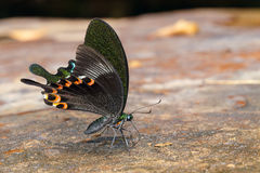 Paris peacock butterfly sucking food Royalty Free Stock Images