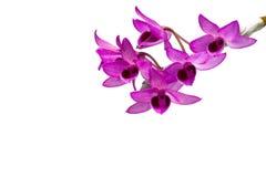 Parishii del Dendrobium Immagine Stock Libera da Diritti