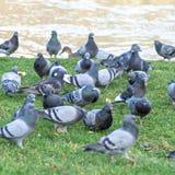 Parisian rock pigeons (Columba livia) at the edge of the Seine Stock Photos