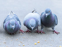 Parisian rock pigeons (Columba livia) at the edge  Stock Images