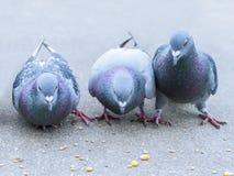 Parisian rock pigeons (Columba livia) at the edge  Stock Images