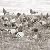 Parisian rock pigeons (Columba livia) at the edge  Stock Photography