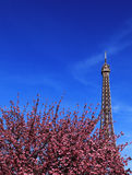 Parisian spring. Image of the famous Eiffel Tower above a pink cherry tree in blossom during the spring Royalty Free Stock Images