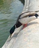 Parisien duck. Beauty of nature Paris Stock Photos