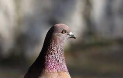Parisinian duva, fågel-Paris stad Fred dök i gatorna av den berömda franska staden royaltyfri bild