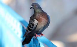 Parisinian duva, fågel-Paris stad Fred dök i gatorna av den berömda franska staden royaltyfria foton