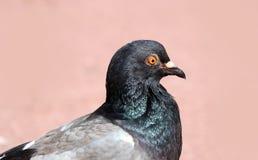 Parisinian duva, fågel-Paris stad Fred dök i gatorna av den berömda franska staden royaltyfri foto