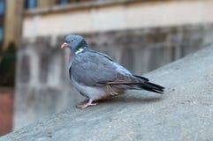 Parisinian pigeon, Paris city avian. Parisinian pigeon, Paris city France avian Royalty Free Stock Images