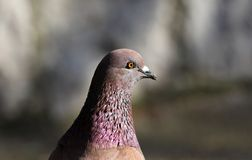 Parisinian pigeon, Paris city avian. Peace dove in the streets of the famous French City. Parisinian pigeon, Paris city France avian. Peace dove in the streets Royalty Free Stock Image