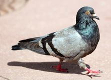 Parisinian pigeon, Paris city avian. Peace dove in the streets of the famous French City. Parisinian pigeon, Paris city France avian. Peace dove in the streets stock photography