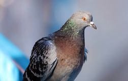Parisinian pigeon, Paris city avian. Peace dove in the streets of the famous French City. Parisinian pigeon, Paris city France avian. Peace dove in the streets Stock Images