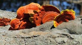 Parisite fungi Stock Images