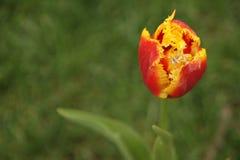 Parkı d'Ortaköy YILDIZ de saison de tulipe, images libres de droits