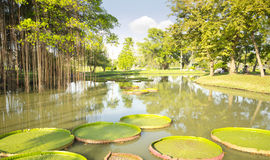 Park. Victoria lotus leaf in pond Stock Photography