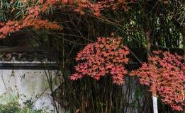 Red leaf-Acer palmatum Royalty Free Stock Image