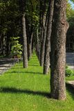 Park alley of chestnut trees on sunny day. The line of large old tree trunks and only one young chestnut seedling with green leaves on the green lawn stock photo