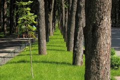 Park alley. The line of large old tree trunks and only one young chestnut seedling with green leaves on the green lawn royalty free stock photography