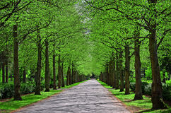 Park alley. Parkway in springtime when oak and linden trees just have leaves Royalty Free Stock Image