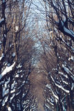 Park alley trees in winter Stock Images