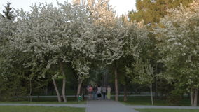 Park in apple tree blossom. NOVOSIBIRSK, RUSSIA - MAY 21, 2016: People walking in the park with blooming apple trees at sunset stock video footage