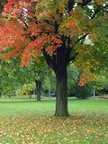 Park in autumn. Autumn tree in the park royalty free stock photography