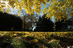 Park in autumn. Landscape of trees and leaves in autumn Royalty Free Stock Photo