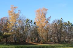 Park in autumn. Yellow birches and some bare trees in the park in autumn Royalty Free Stock Photography