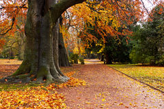 A park with autumnal beeches Stock Photography