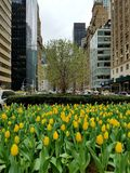 Park Avenue Tulips. Yellow Spring Tulips Bloom Along Park Avenue, New York City Royalty Free Stock Image