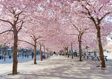 Park with beautiful blooming cherry trees and people Royalty Free Stock Photos
