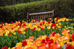 Park bench amongst red and yellow tulips at Cantigny Park in Wheaton, Illinois.. Wooden park bench sitting amongst a field of red, yellow and orange tulips with Stock Photography