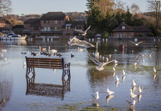 Park Bench Flooded by River Thames. Park bench on the flooded banks of the River Thames at Marlow surrounded by water with gulls, geese and swans Stock Images
