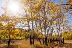 A park bench under aspen trees in the fall with the sun shining through the trees. Royalty Free Stock Photo