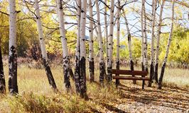 A park bench under aspen trees in the fall Stock Photo