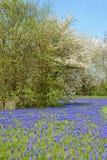 Park binnen met Druivenhyacint in bloesem en kersenboom springti Royalty-vrije Stock Foto