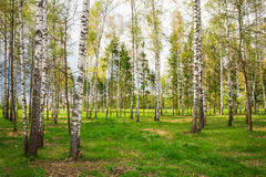 Park with birch trees Stock Images