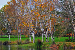 Park Birch trees in Autumn Stock Images