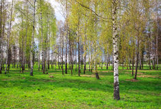 Park with birch trees Royalty Free Stock Photo