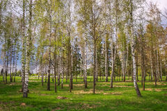 Park with birch trees Royalty Free Stock Images