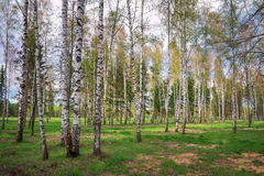 Park with birch trees Stock Photography