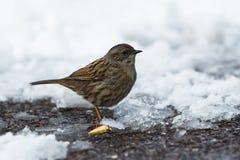 Dunnock, Prunella modularis. Park Birds - Dunnock, Prunella modularis Stock Images