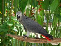 Park of birds and reptiles in Bali, grey parrot. Parrots in Bali, a parrot on a branch, a beautiful parrot, a parrot with a tuft, a beautiful bird, a bright Royalty Free Stock Photos