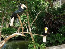 Park of birds and reptiles in Bali, toucan. Toucan in Bali, toucan on branch, beautiful toucan, toucan with tuft, beautiful bird, bright toucan, colorful Stock Photos
