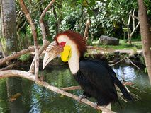 Park of birds and reptiles in Bali, toucan. Toucan in Bali, toucan on branch, beautiful toucan, toucan with tuft, beautiful bird, bright toucan, colorful Stock Image
