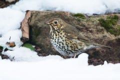 Song Thrush, Thrush, Birds, Turdus philomelos. Park Birds - Song Thrush, Thrush, Birds, Turdus philomelos stock image